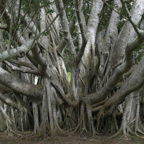 Banyan Tree Essay Examples