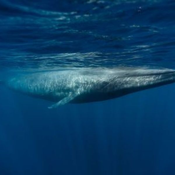 Blue Whale Essay Examples