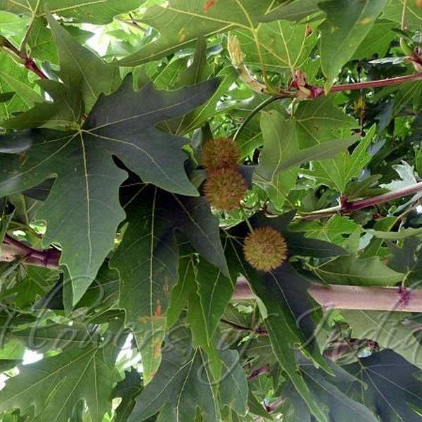 Chinar Tree Essay Examples