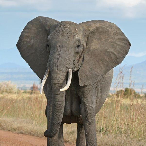 Elephant Essay Examples