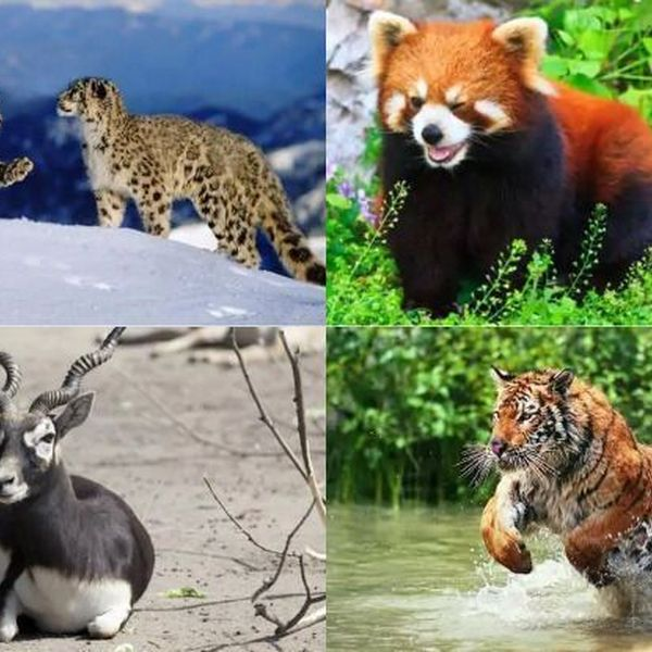 Endangered Animals In India Essay Examples