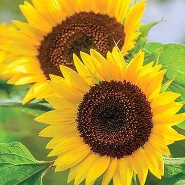 Flower Sunflower Essay Examples