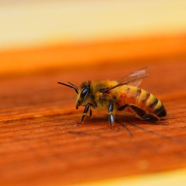 Honey Bee Essay Examples