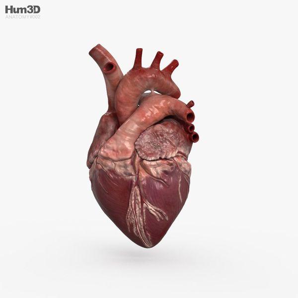 Human Heart Essay Examples