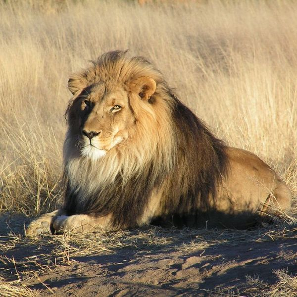 Lions Essay Examples