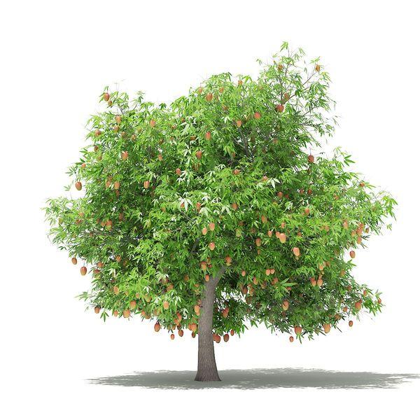 Mango Tree Essay Examples