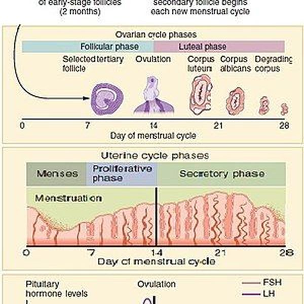 Menstrual Cycle Essay Examples