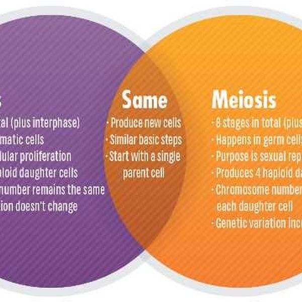 Mitosis And Meiosis Essay Examples