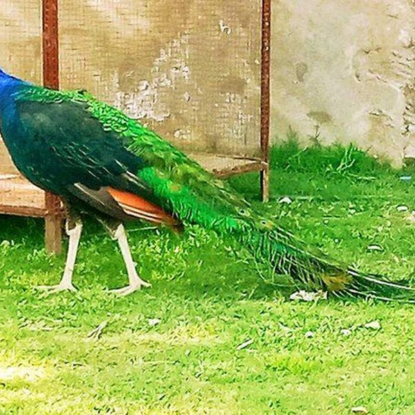 My Favourite Bird Peacock Essay Examples
