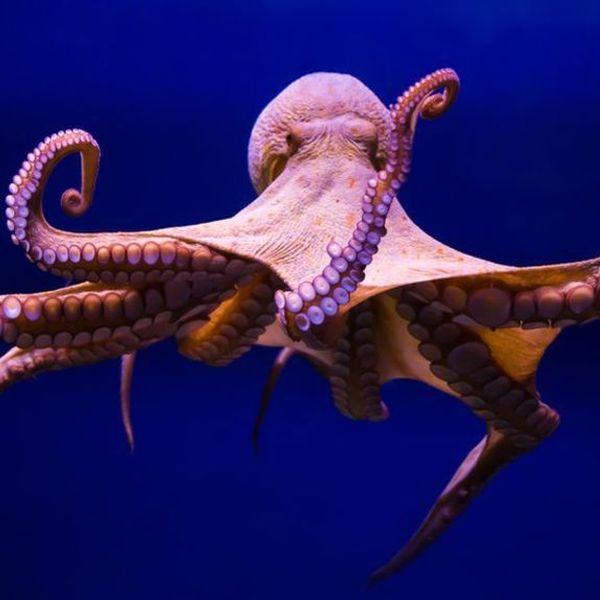 Octopus Essay Examples