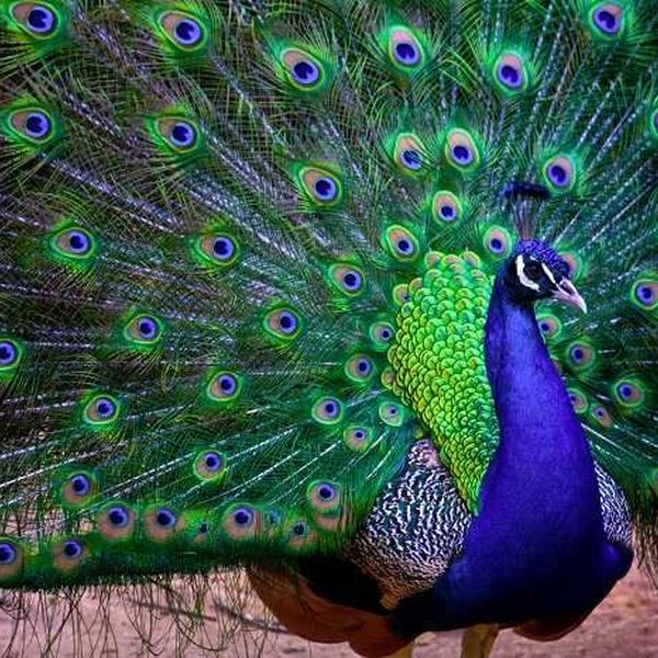 Our National Bird Peacock Essay Examples