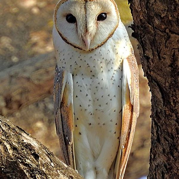 Owl Bird Essay Examples