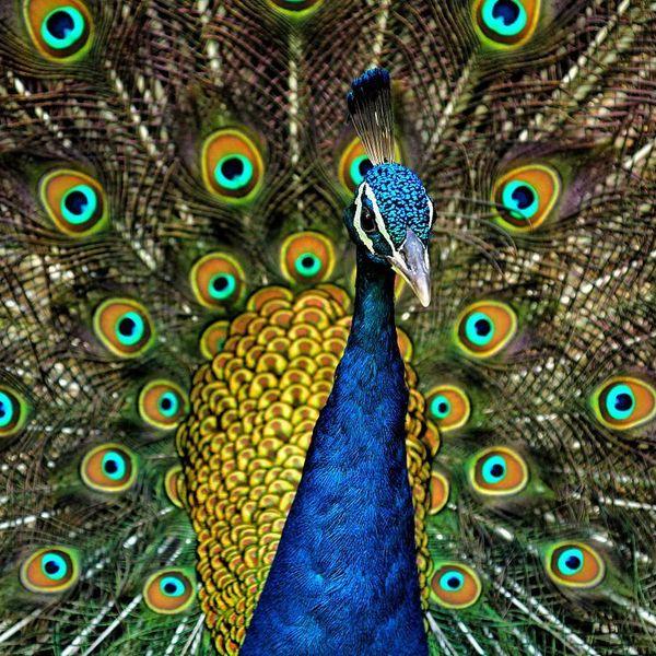 Peacock Bird Essay Examples