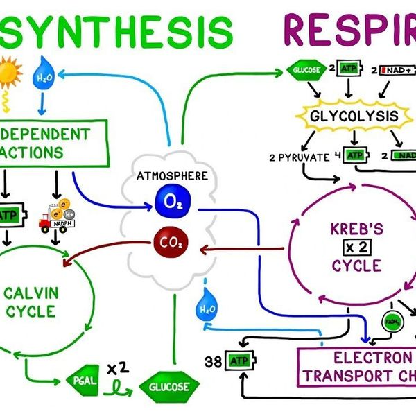 Photosynthesis And Cellular Respiration Essay Examples