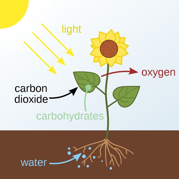 Photosynthesis Essay Examples