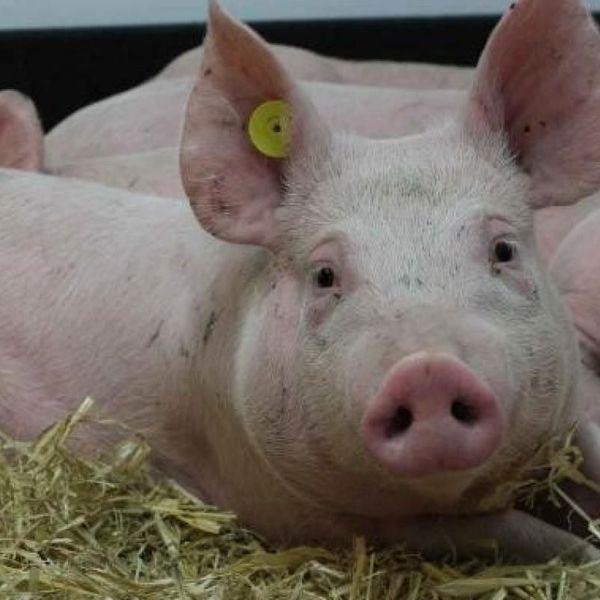 Pig Essay Examples