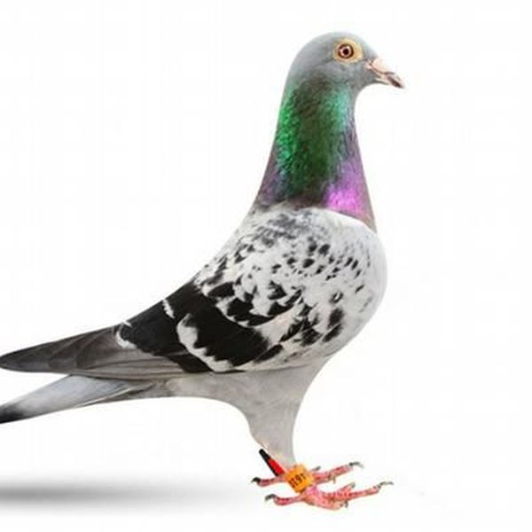 Pigeon Essay Examples
