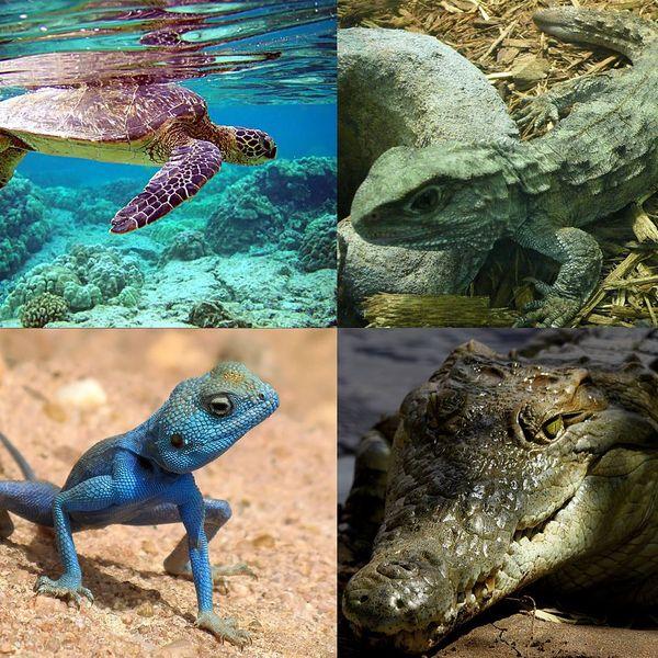 Reptile Essay Examples