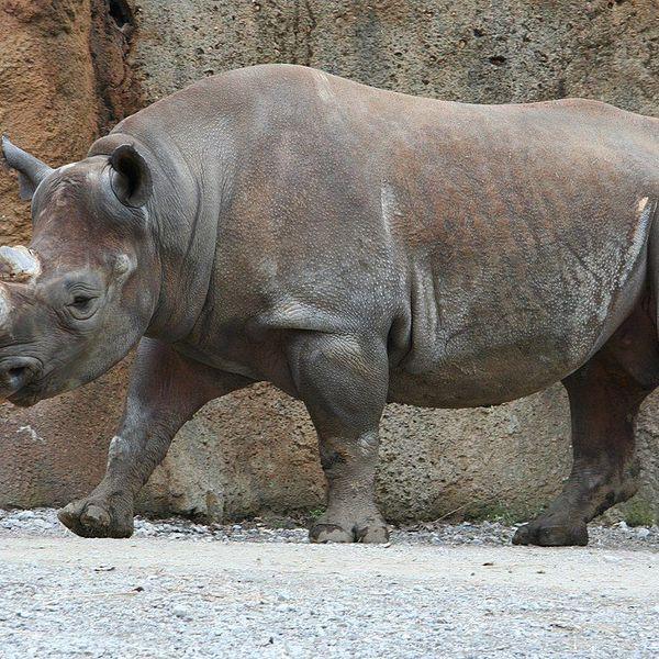 Rhinoceros Essay Examples