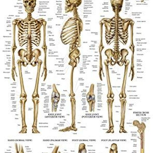 Skeletal System Essay Examples