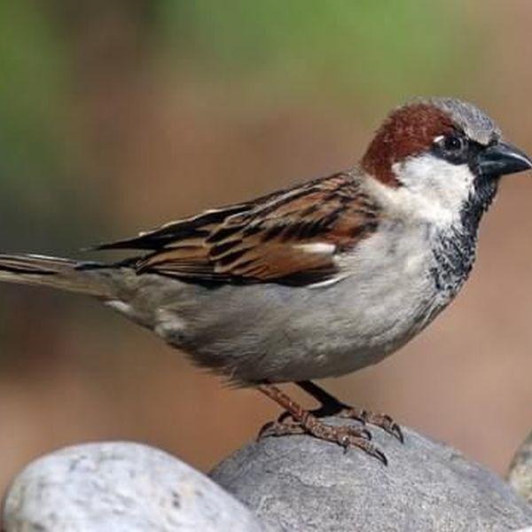 Sparrow Essay Examples