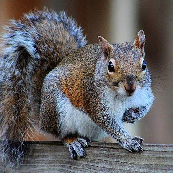 Squirrel Essay Examples