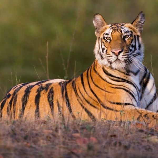 Tiger Extinction Essay Examples