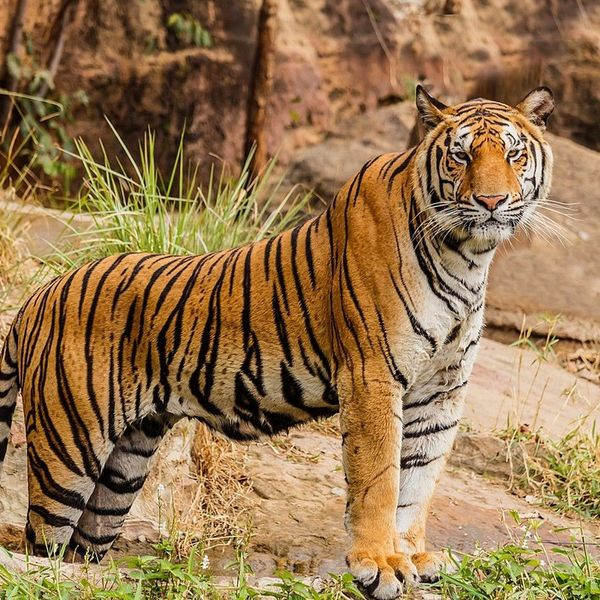Tigers In India Essay Examples