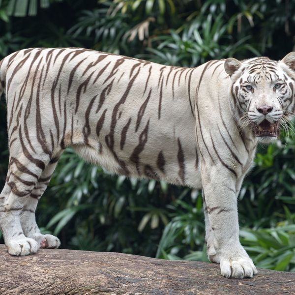 White Tiger Essay Examples